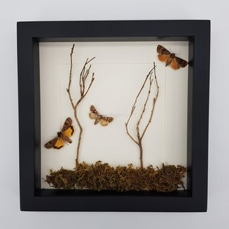 Moths nature framed (10''x10'')