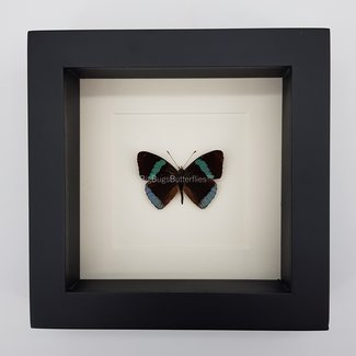 """Diaethria Clymena framed (6.3"""" X 6.3"""")"""