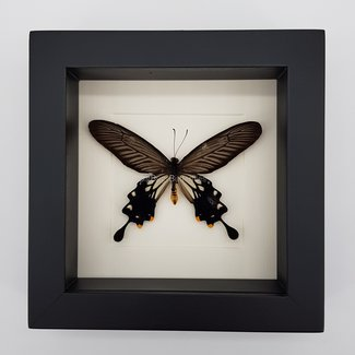 """Losaria Coon Coon framed (6.3"""" X 6.3"""")"""
