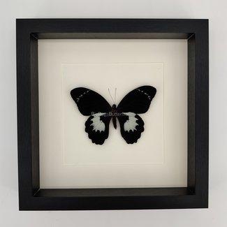 Papilio Aegeus Ormenus in lijst (25x25)