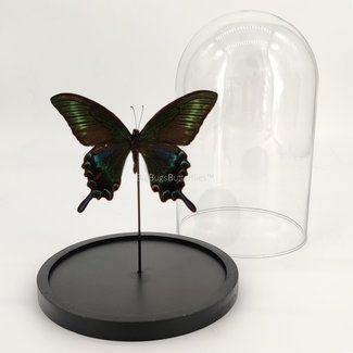 "Papilio Maackii in dome (8.3""X 5.5"")"