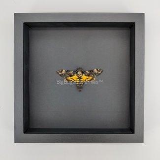 """Framed Death Hawk moth (Achterontia Atropos) (10""""x10"""")"""