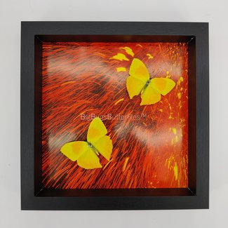 2 Phoebis Rurina with print framed (10'' X 10'')