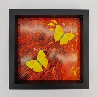 Phoebis Rurina framed (10'' X 10'')
