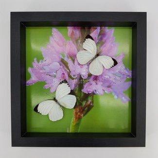 Ascia Bunaie framed (10'' X 10'')