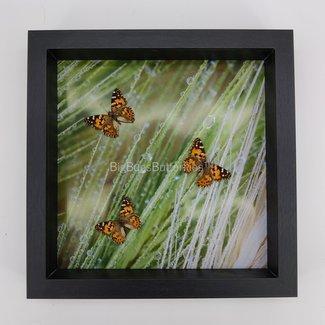 3 Araschnia Levana with a print framed (10'' X 10'')