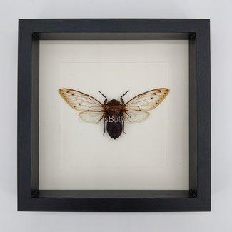 Cicade in lijst (25x25)