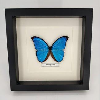 """Morpho Menelaus framed (10"""" X 10"""")"""