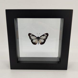 "Parantica Vitrina framed (6.3"" X 6.3"")"