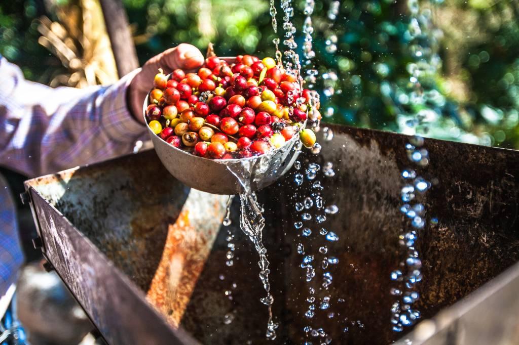 Hoe werkt een koffieplantage?