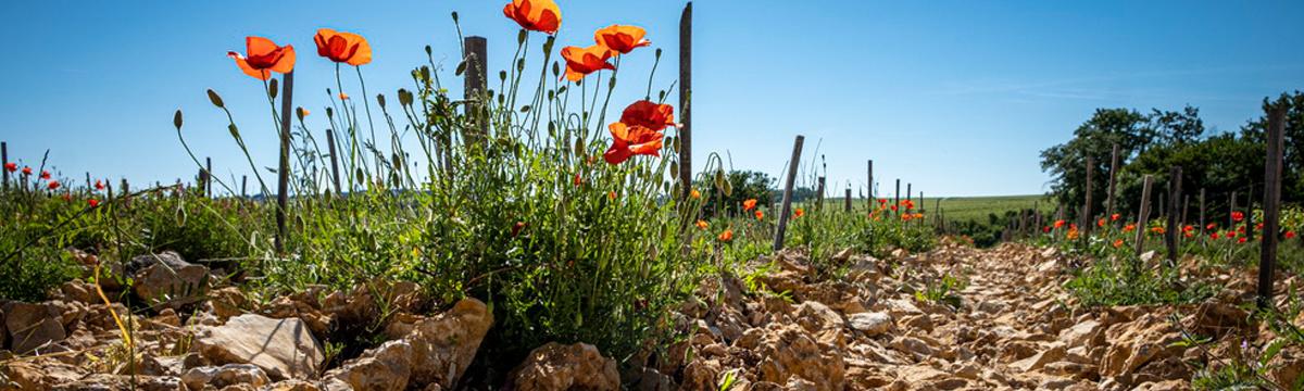 Jean Pabiot Vineyard & Flowers