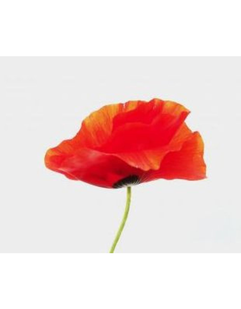 Mulberry poppy 50 sheets