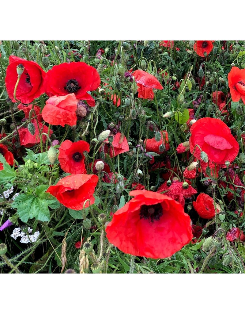 Mulberry poppy, 100 sheets