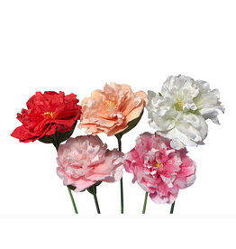 TH769  Blooming Peony