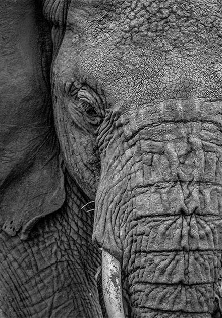 Close-up Elephant