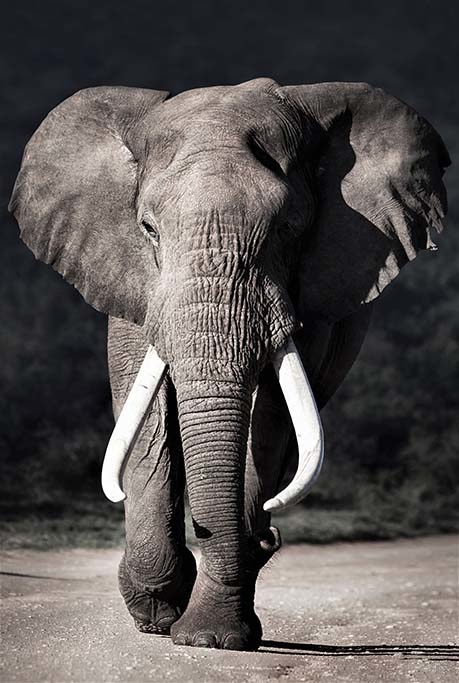 Elephant approaching