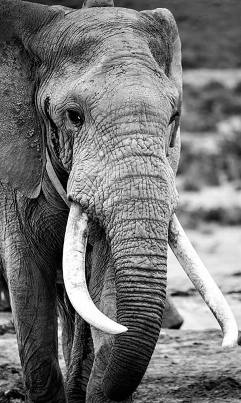 Elephant  zw