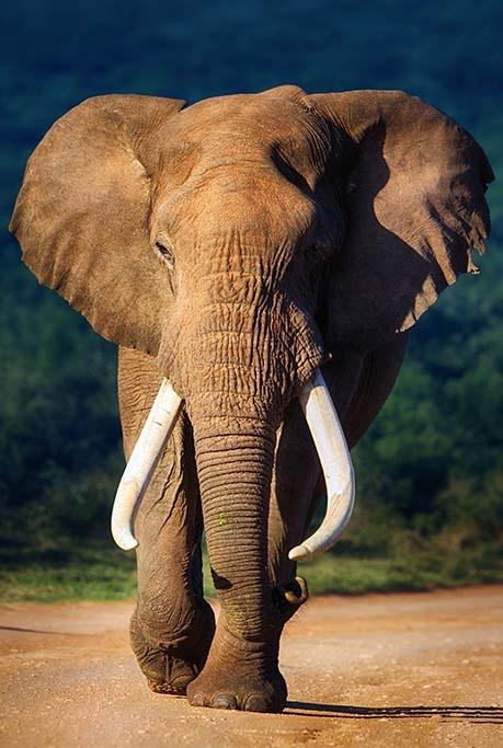 Eléphant de couleur