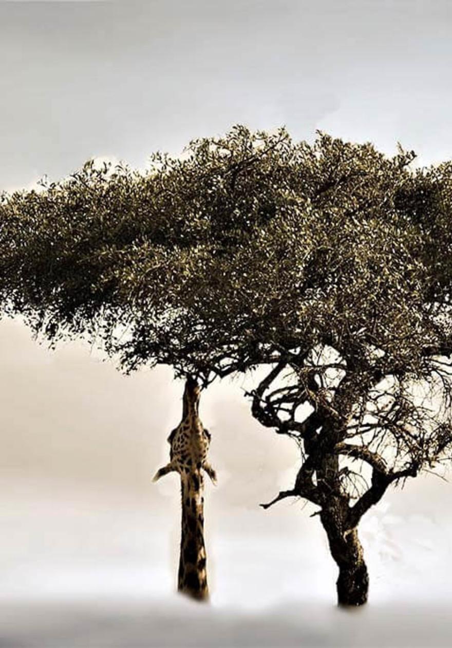 Giraffe in tree