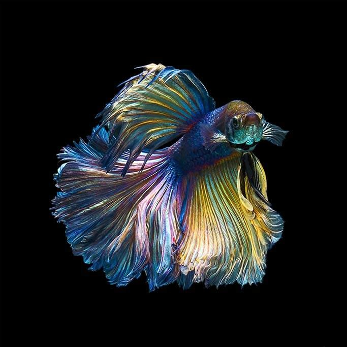 Fisch-1