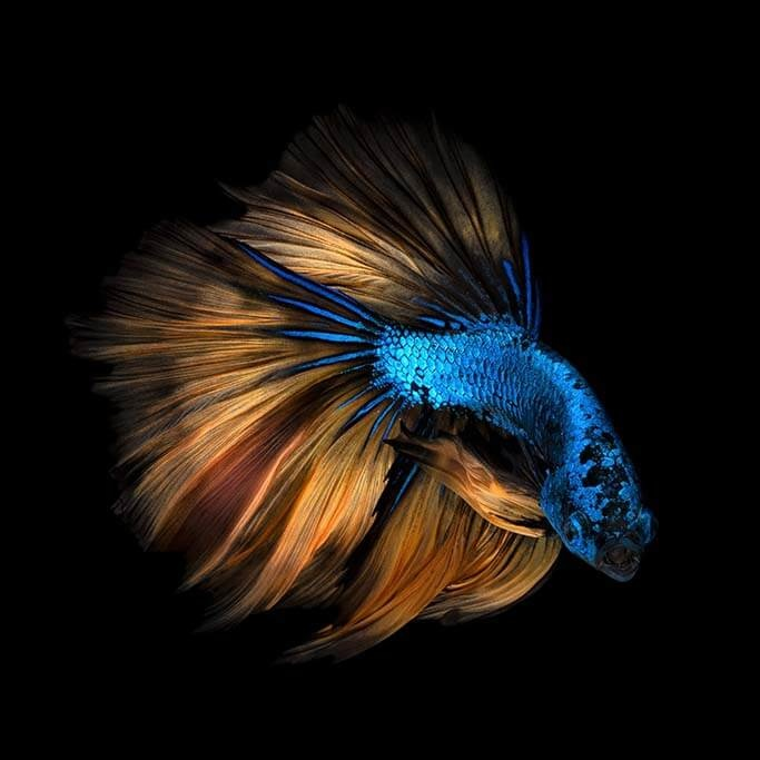 Betta fish-1