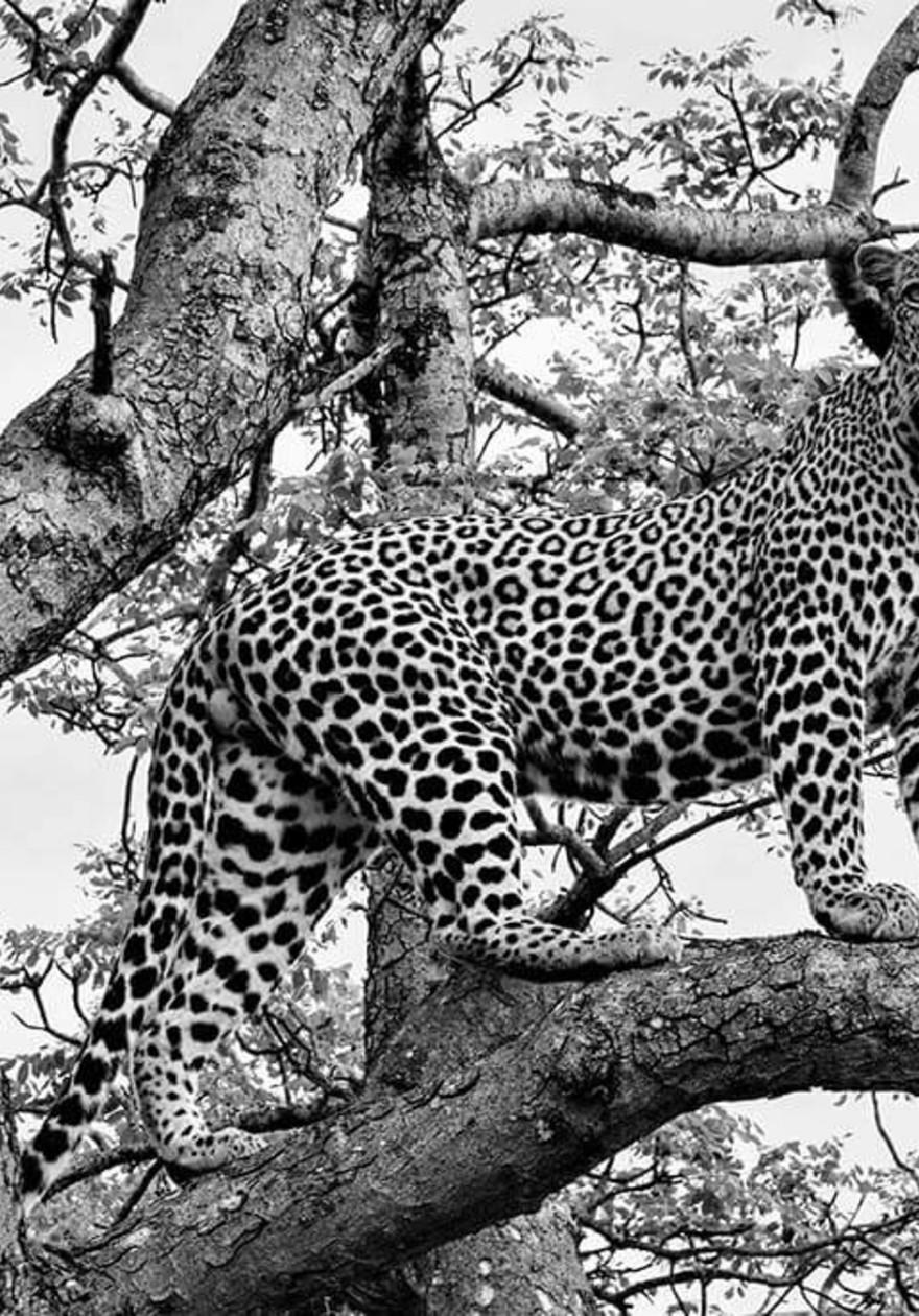 Cheeta in tree