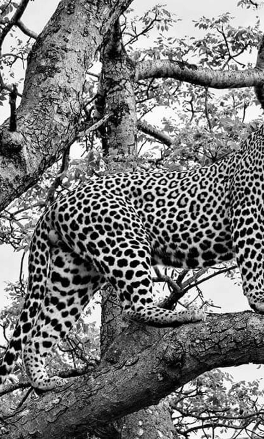 Cheeta in tree