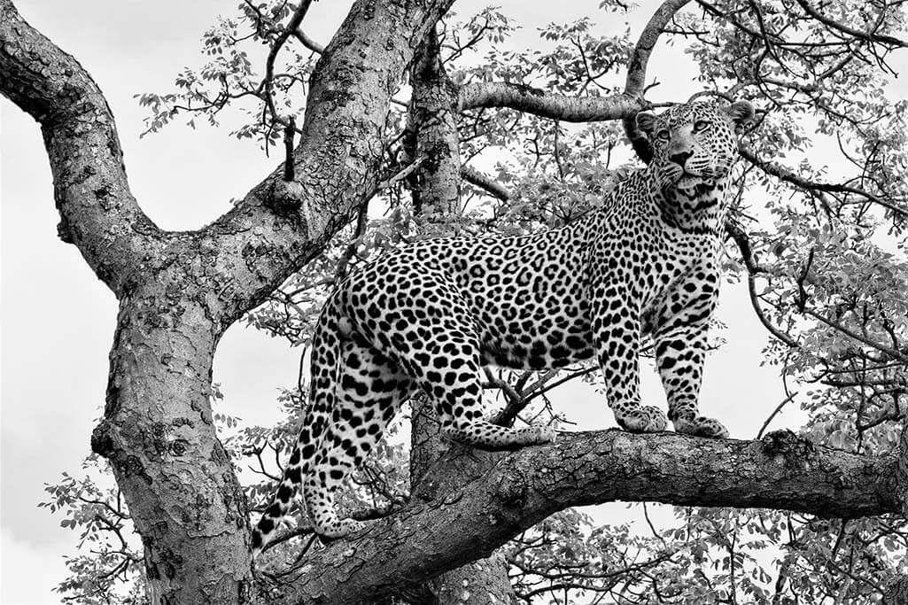 Cheeta in tree-1