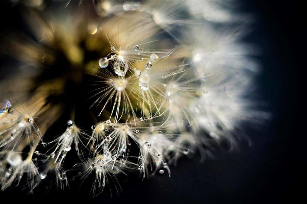 Dandelion flower-1