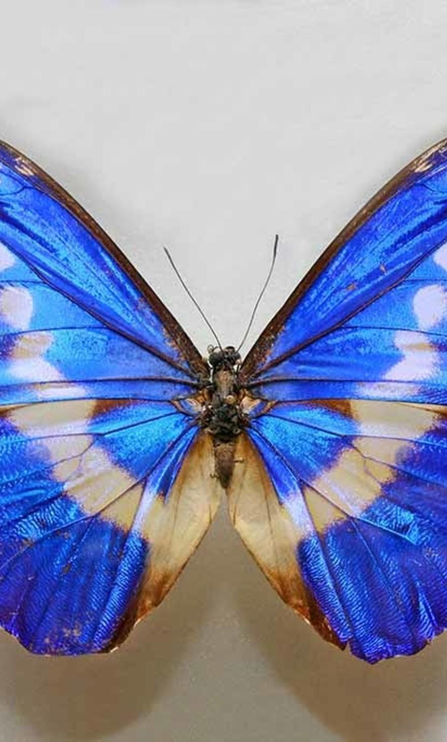 Le bleu papillon