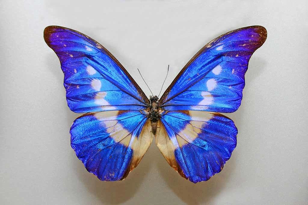 Butterfly blue-1