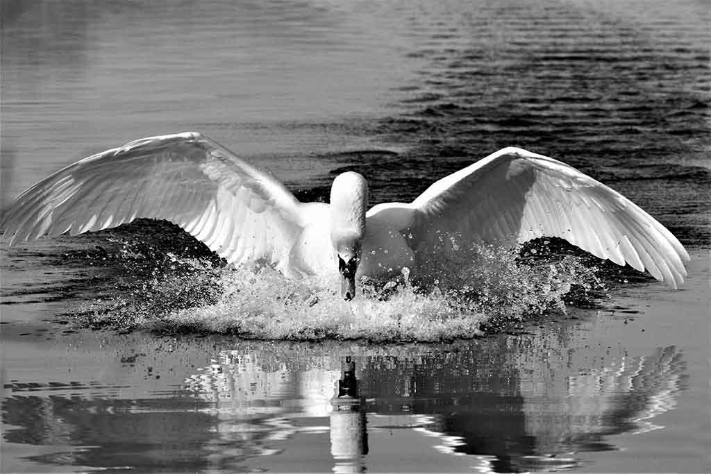 Swan-1