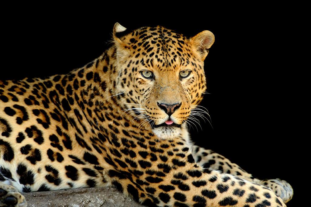 Leopardo-1