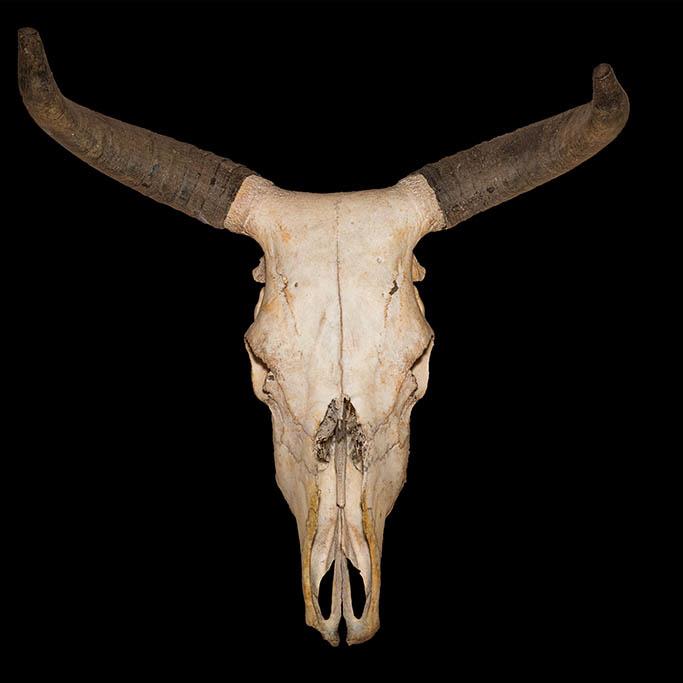 Skelet hoofd-1