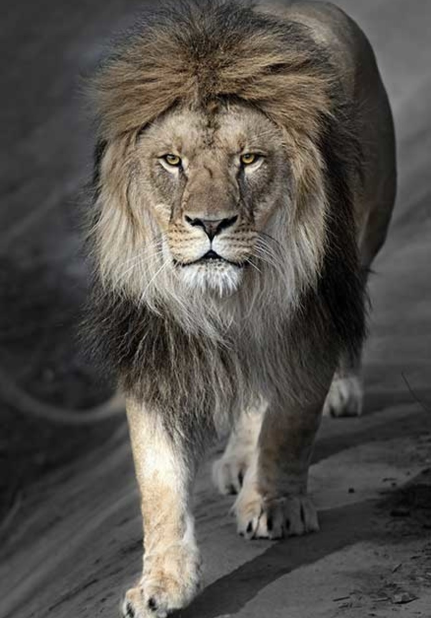 Perfect lion