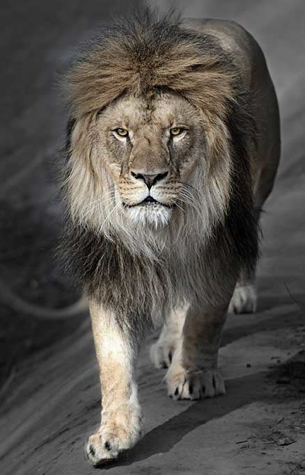 Perfect lion-1