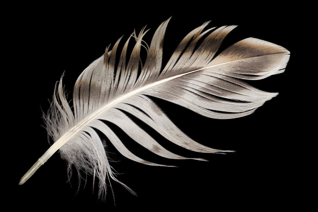 White feather-1