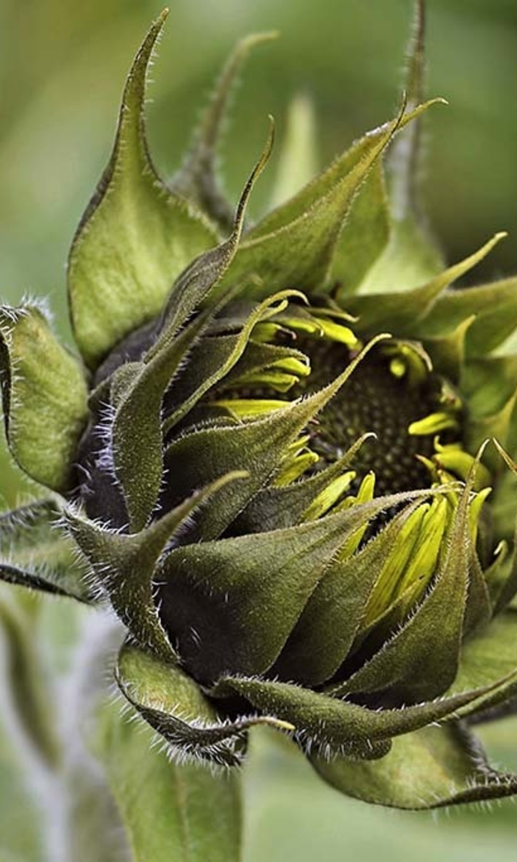 Sunflower in bud
