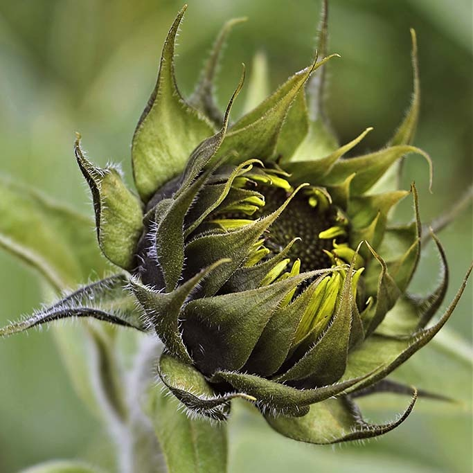 Sunflower in bud