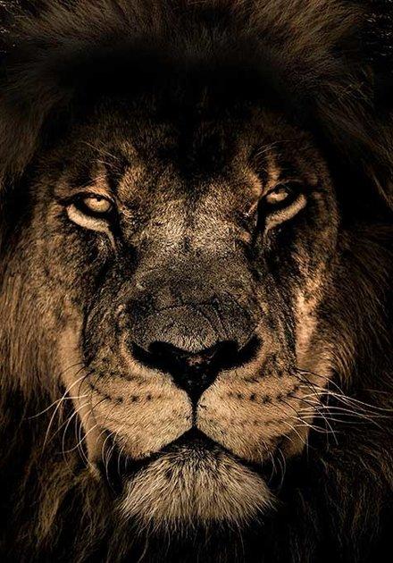 Lion of Afrika