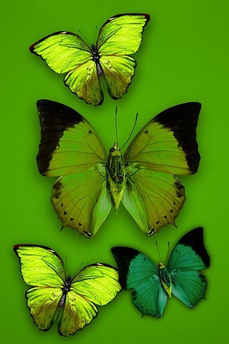 Butterfly flirt