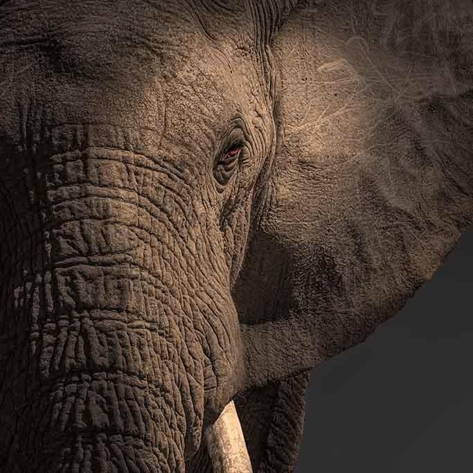 Close up elephant-1