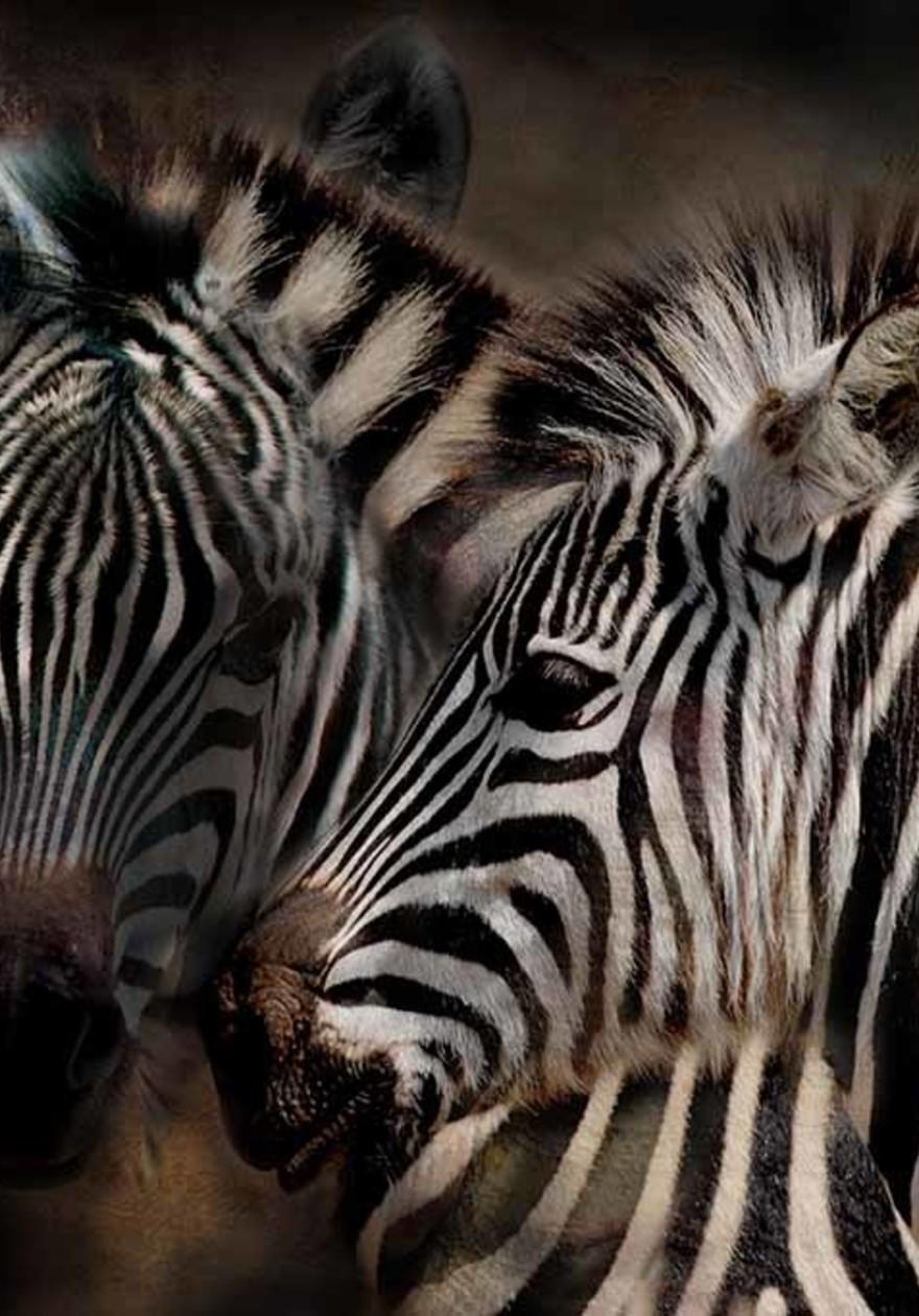 Zebras art