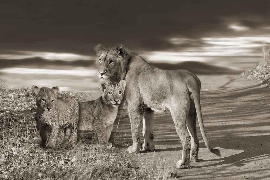 Lion family-1