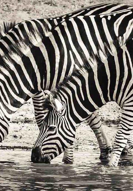 Steppe zebras