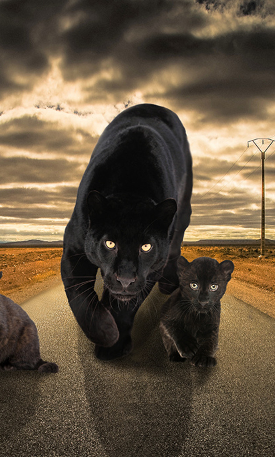 Panter on the road