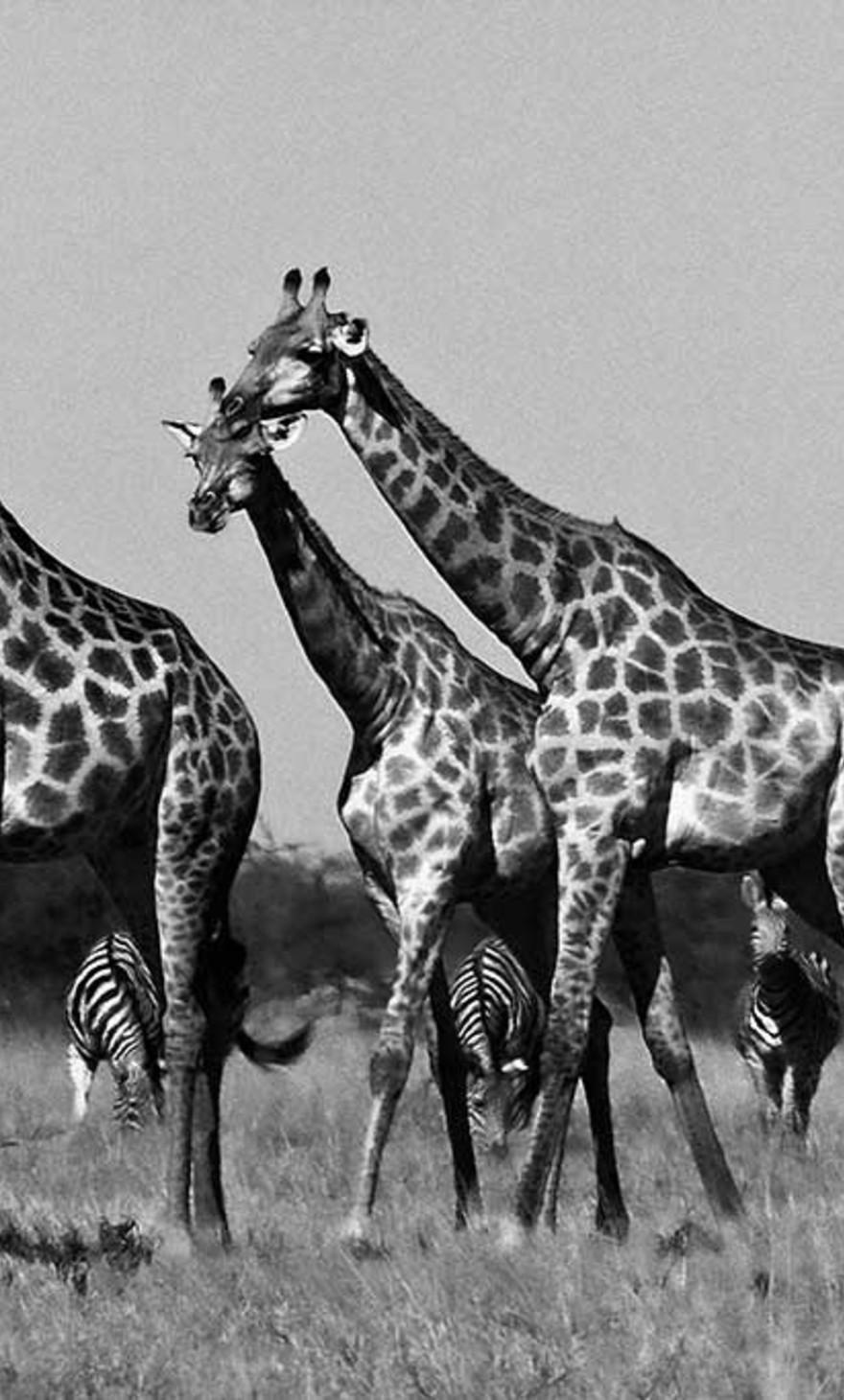 Girafes Botswana