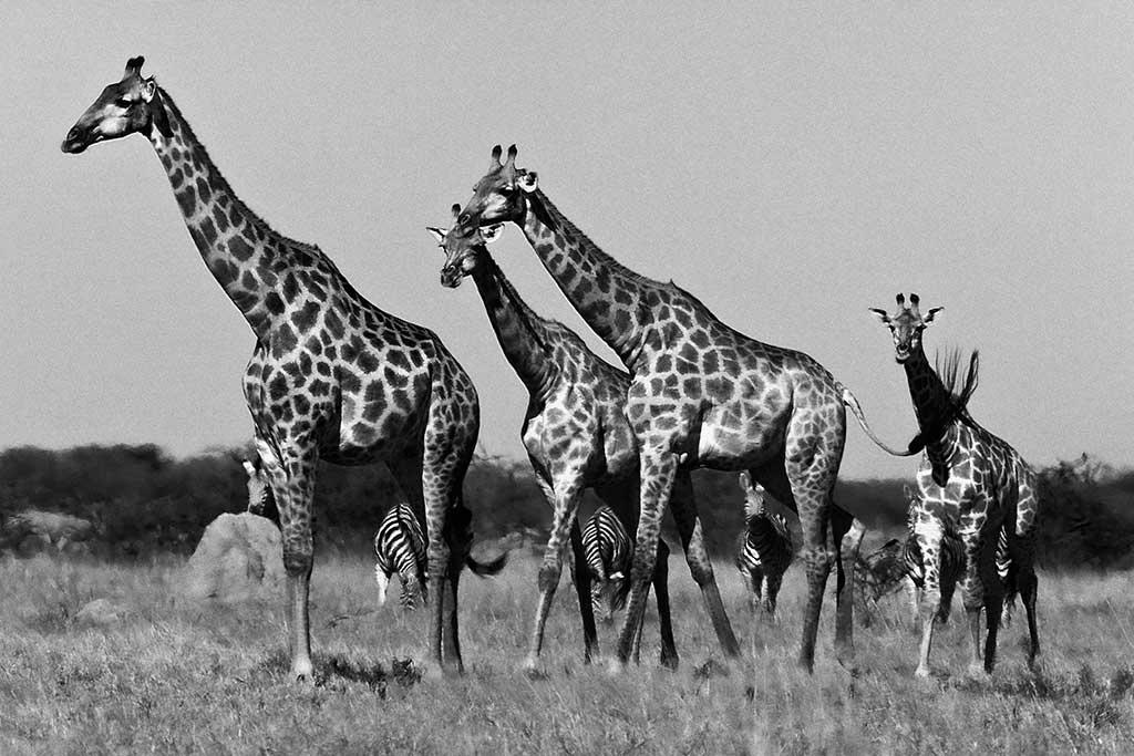 Giraffes Botswana-1
