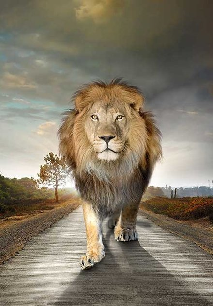 On the road lion