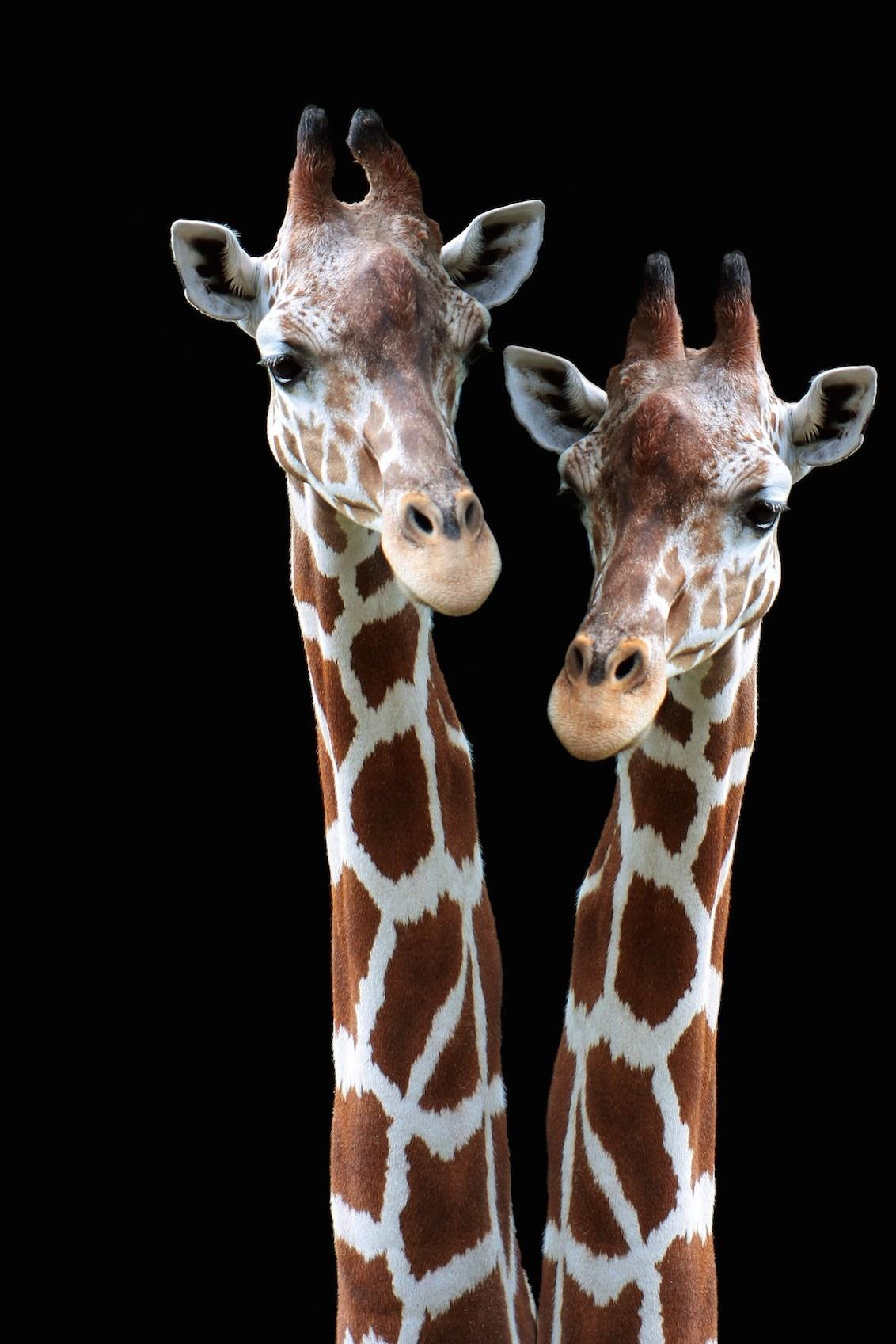Giraffe Safari-1